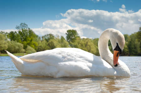 white swan  floating on the water Stock Photo - 13544554