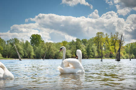 white swans  floating on the water Stock Photo - 13544555