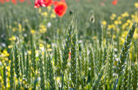 flowering field: poppies and young wheat field Stock Photo