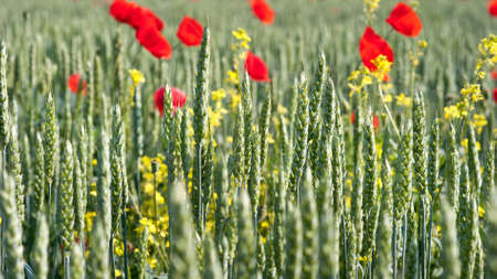 poppies and young wheat field photo