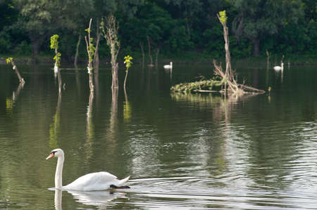 white swans  floating on the water photo