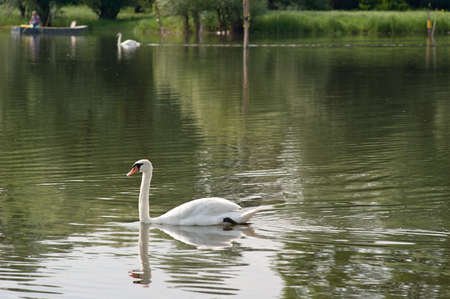 white swans  floating on the water Stock Photo - 13831256