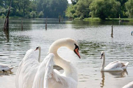 white swans floating on the water Stock Photo - 13913694