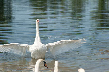 white swans floating on the water Stock Photo - 13913695