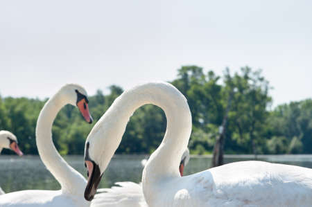 white swans floating on the water Stock Photo - 13970363