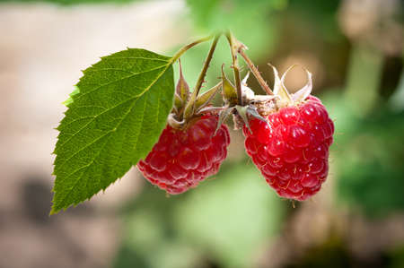ornamental bush: Ripe raspberry in the garden