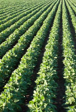 soybean field with rows of soya bean plants photo