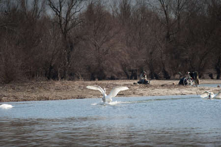 onslaught: Swans fly over the lake