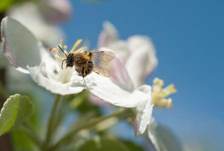 bees in the apple blossom in spring photo