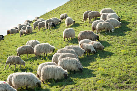 Herd of sheep on meadow photo