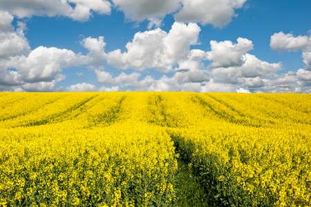 oilseed rape: Yellow field rapeseed in bloom  Stock Photo