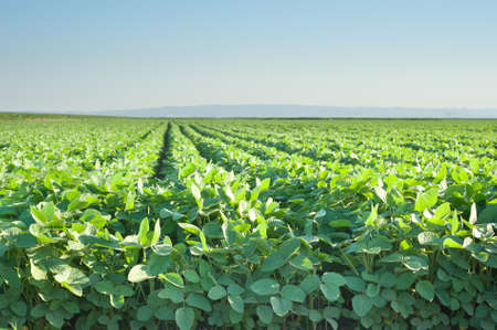 monoculture: soybean field with rows of soya bean plants
