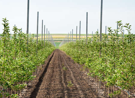Panoramic view of a young apple orchard photo