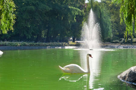 white swans  floating on the water Stock Photo - 14369869