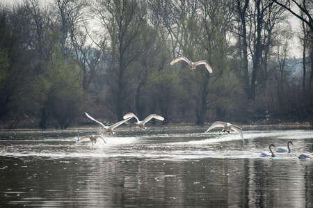 Swans fly over the lake  photo