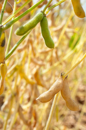 monoculture: field soybeans in autumn