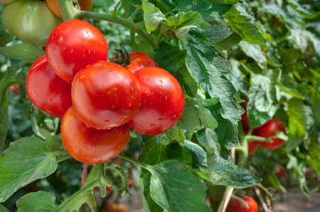 monoculture: Growing red tomatoes in greenhouse
