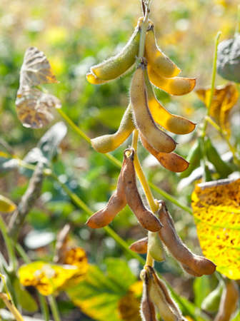 monoculture: soybean shell in the soybean field