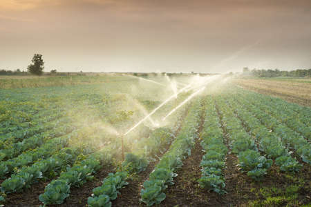 crop sprayer: irrigation of vegetables into the sunset
