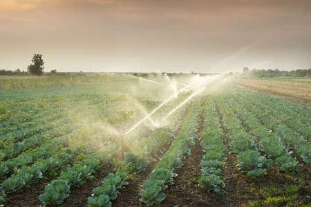 riego de hortalizas en la puesta del sol Foto de archivo