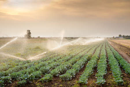 agriculture industrial: irrigation of vegetables into the sunset