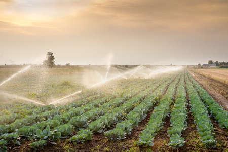 repollo: riego de hortalizas en la puesta del sol Foto de archivo