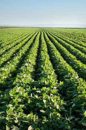 soybean: soybean field with rows of soya bean plants