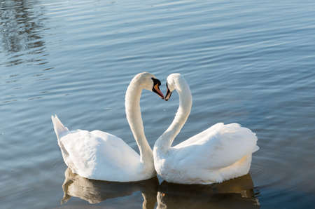 two swan in love forming photo