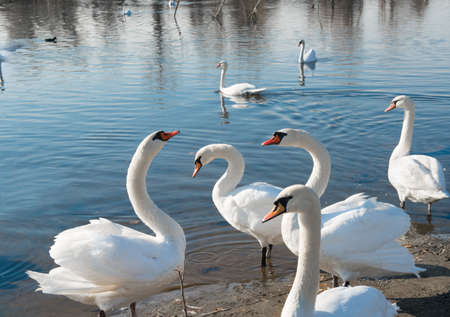 white swans by the water photo