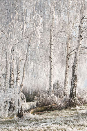 wintry landscape: Wintry landscape with snowy trees