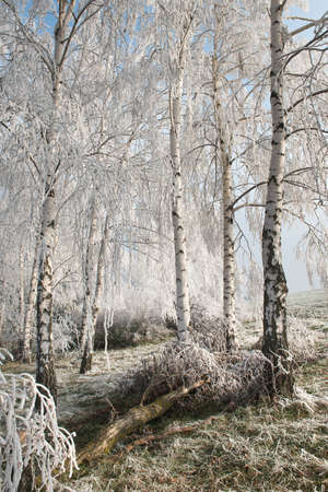 wintry: Wintry landscape with snowy trees
