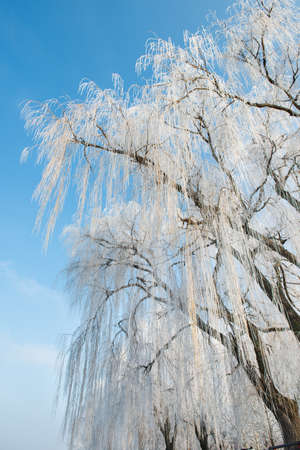 weeping willow: Weeping willow in winter