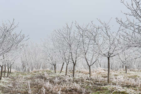 Trees in orchard covered by snow  photo