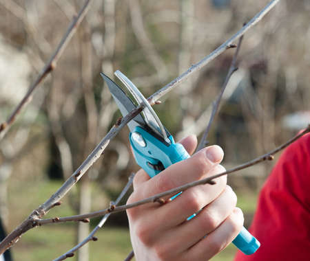 tree trimming: pruning fruit trees with secateurs Stock Photo