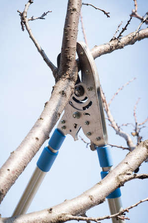 secateurs: pruning fruit trees with secateurs Stock Photo