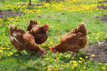 egg-laying hens in the yard photo