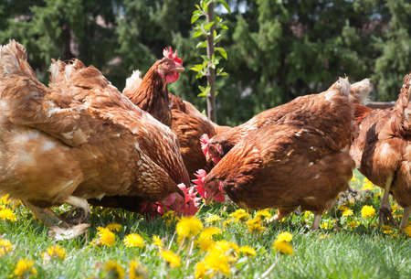 red hen: egg-laying hens in the yard