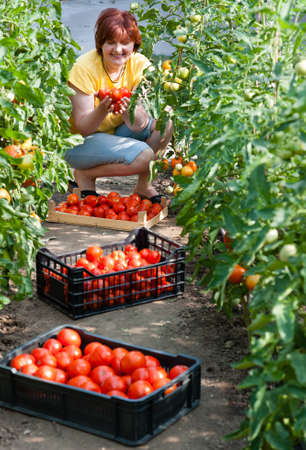 Woman picking fresh tomatoes in greenhouse Stock Photo - 17861666