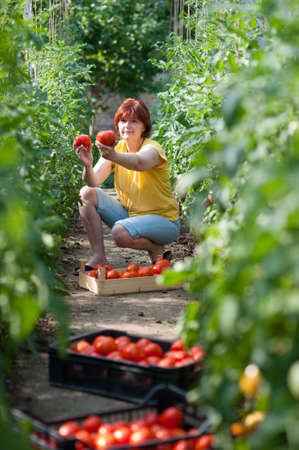 Woman picking fresh tomatoes in greenhouse Stock Photo - 17861665
