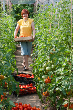 Woman picking fresh tomatoes in greenhouse Stock Photo - 17861667