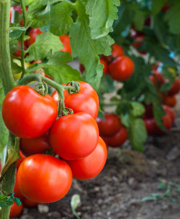 monoculture: growth red tomato in Greenhouse