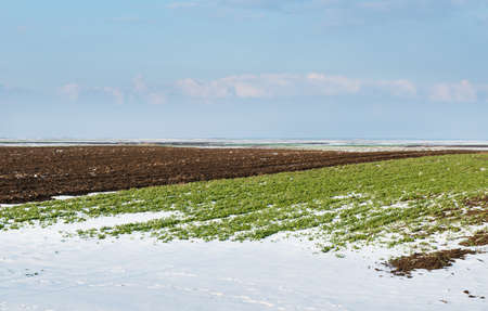 gramineous: agricultural field of under the snow