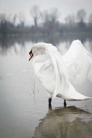 white swan is showing on the lake shore photo