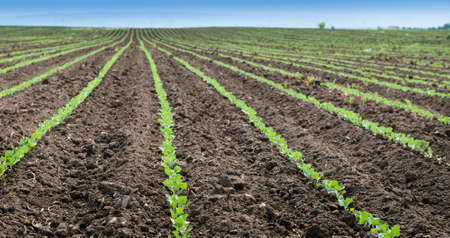 soybean: Soybean Field Rows in spring
