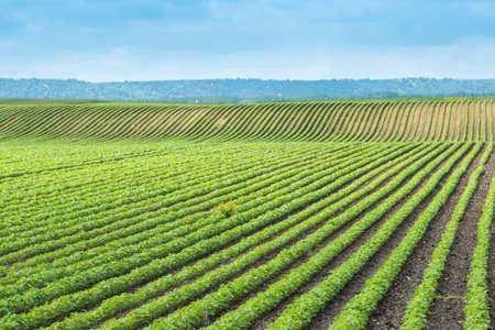 soja: soja campo con hileras de plantas de frijol de soja Foto de archivo