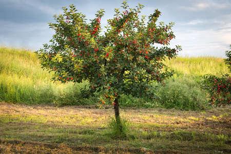 cherry tree: Ripening cherries on orchard tree