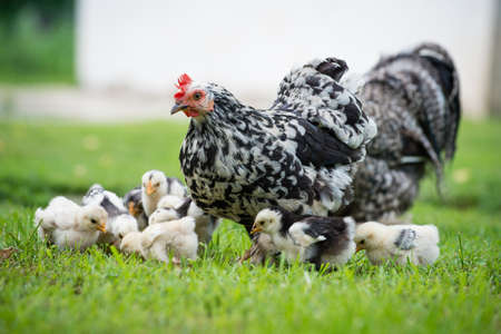 hen with its baby chicks in grass photo