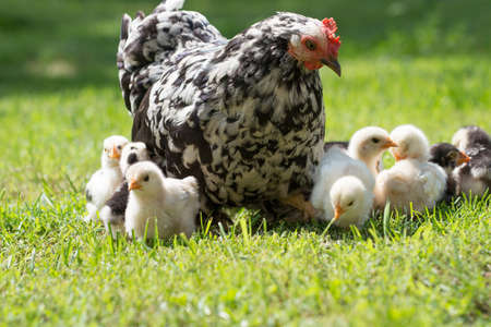 hen with its baby chicks in grass