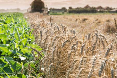 field of ripe wheat at sunset Stock Photo - 20563171
