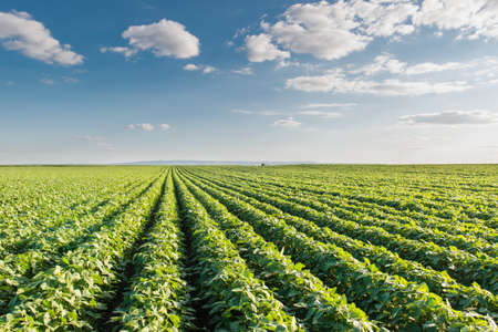 soya bean plant: Soybean Field Rows Stock Photo